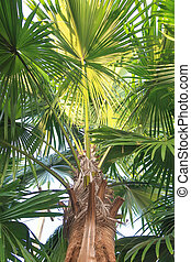 Livistona Rotundifolia palm tree, view from below