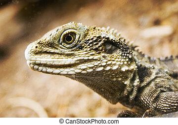 Lizaed Head 02 - Lizard at the National Aquarium of New ...