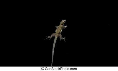 lizard 03 - Isolate lizard with alpha matte