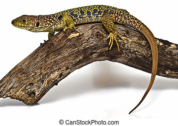 lizard 17. - Ocellated lizard isolated on a white backgroud.
