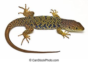 Lizard 2.