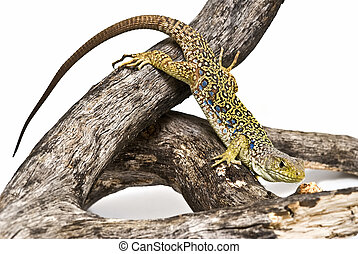 Lizard 8. - Ocellated lizard isolated on a white backgroud.