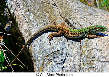 Lizard - A lizard basks in the sun
