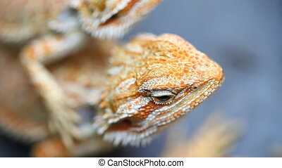 Lizard Agama - a common species of reptiles in Asia .Full HD...