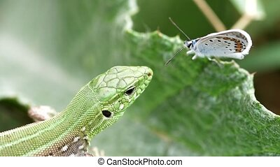 Lizard and Butterfly - Common lizard or Lacerta agilis hunt...