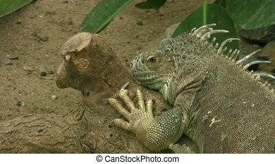 Lizard - Beautiful Bearded Dragon