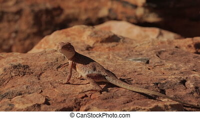 Lizard catching a fly, King's Canyon, Australia - Extreme...