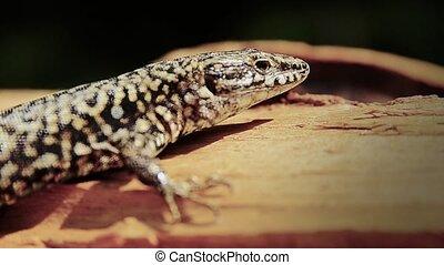 lizard close up - resting lizard macro shot