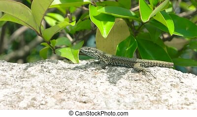 Lizard close up. Lizard, stone and green plant. How do...