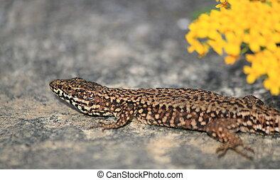 Lizard - Colorful lizard on a stone near yellow flowers