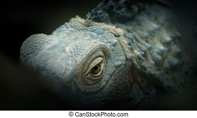 Dramatic obscured shot of a lizard with eye looking around