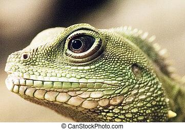 Lizard - eye - Closeup on the head of a green lizard