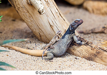 Lizard family