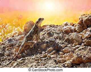 Lizard Hardun in the morning sun