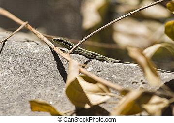 A small lizard sunbathes in the sun.