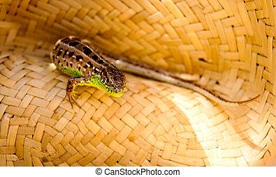 Lizard in a straw hat