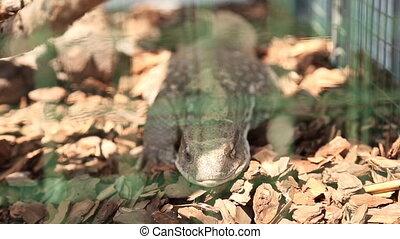 lizard in a zoo close-up