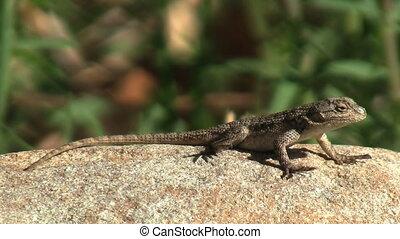 Lizard In Chaparral - Lizard in chaparral.