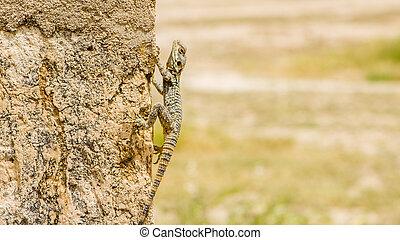 Lizard in Jerash in Jordan