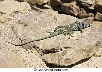 Lizard in New Mexico