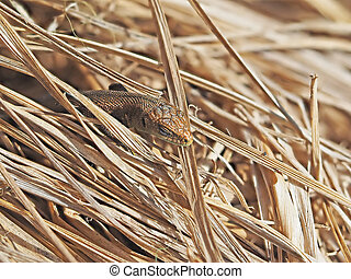 Lizard in the dry grass
