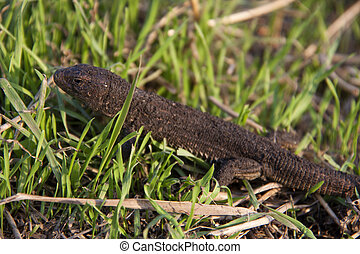 lizard in the grass on a sunny day