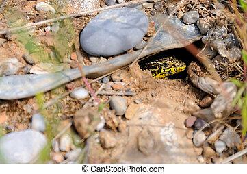 Lizard in the hole  - Lizard hidden in the nest hole
