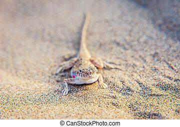 Lizard in the sand in Gobi desert, China - Lizard hiding in...