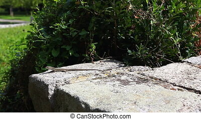 Lizard is on the stone - Lizard is catching the Sun on stone...