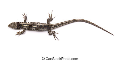 lizard isolated on a white