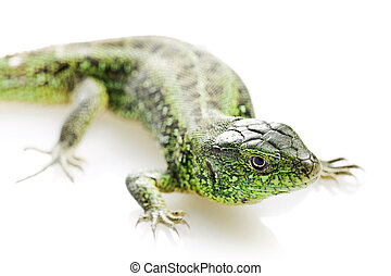 Lizard isolated on white background.