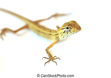 Lizard isolated on white background