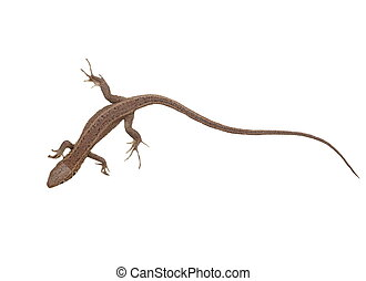 Lizard isolated on white - European Green Lizard, juvenile,...