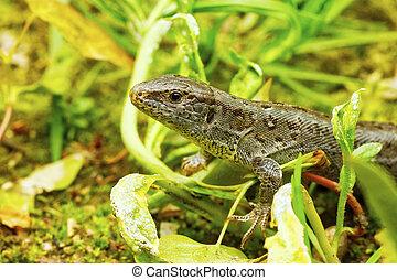 Lizard (Lacerta agilis) in a nature - Lizard (Lacerta...