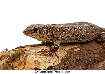 Lizard (Lacerta agilis) on a white background - Lizard...