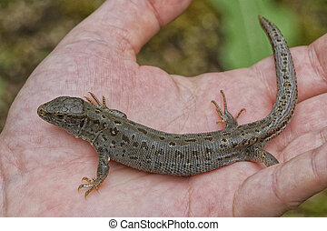 Lizard (Lacerta agilis) on people hand in a nature
