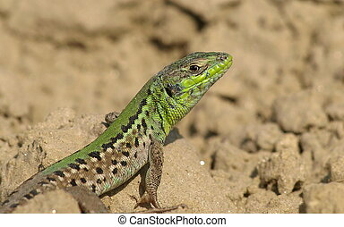 Lizard Lacerta