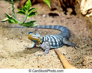 lizard lizard on a rock