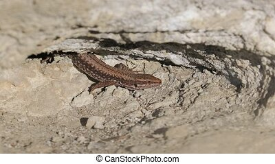 Lizard on a cliff - Small lizard getting scared and...