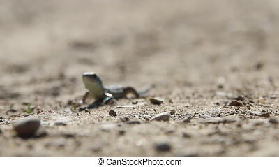 Lizard on a dirt road, sunny day. - Green lizard(Lacerta...