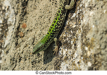 lizard on a rock in the field
