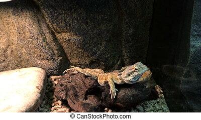 lizard on a rock close up