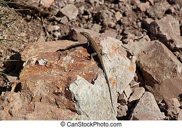Lizard on a stone.