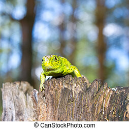lizard on a stump of the forest in spring