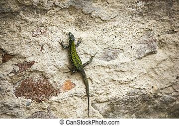lizard on a wall