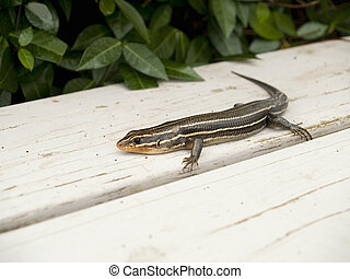 Lizard on Bench