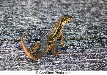 Lizard on Concrete