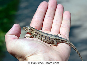 lizard on hand - the lizard (Lacerta agilis) on men hand