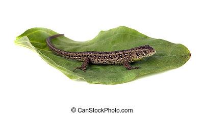 lizard on leaf
