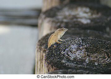 Lizard on post